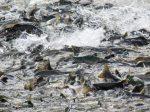 Нерестовый запрет 2019 в бурятии – Весенний нерестовый запрет на рыбалку 2019 в Улан-Удэ и Республике Бурятия