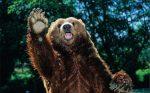 Сахалинские медведи – Сахалинский бурый медведь —